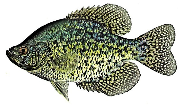 Fishingcartoons 12 also Ice Fishing Jig Kits Crappie Perch Panfish moreover Strike King Redeye Shad Lipless Crankbaits further Ice Out Lake Trout besides Channel Catfish. on ice fishing for panfish